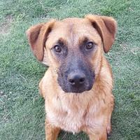 Adopt A Pet :: Harvey - Las Cruces, NM