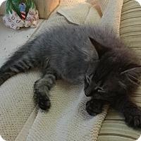 Adopt A Pet :: Puff - Houston, TX