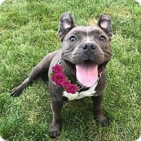 Adopt A Pet :: Nina - Cranford, NJ