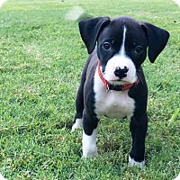 Adopt A Pet :: Socks Whitcomb - Alpharetta, GA