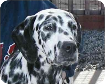 Dalmatian Dog for adoption in Pacific Grove, California - Jack Sparrow