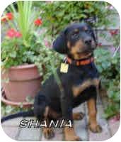 Rottweiler/American Bulldog Mix Puppy for adoption in Oswego, Illinois - SHANIA