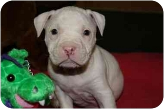 Bulldog/American Pit Bull Terrier Mix Puppy for adoption in Marietta, Georgia - Ali