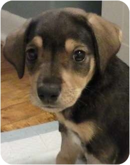 Beagle Mix Puppy for adoption in Plainfield, Illinois - Gallagher