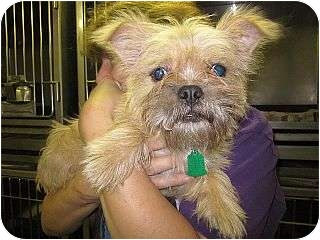Cairn Terrier Mix Puppy for adoption in Beacon, New York - Ellie Mae