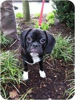 Beagle/Pug Mix Puppy for adoption in Portland, Oregon - Darla