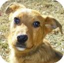 Labrador Retriever/Retriever (Unknown Type) Mix Dog for adoption in Lincolnton, North Carolina - Colbie
