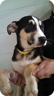 Husky/Bernese Mountain Dog Mix Puppy for adoption in Oviedo, Florida - Casey