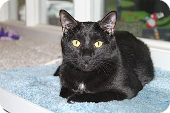 Domestic Shorthair Cat for adoption in North Branford, Connecticut - Lonely Boy