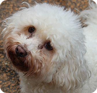 Bichon Frise Dog for adoption in McDonough, Georgia - Frizzy