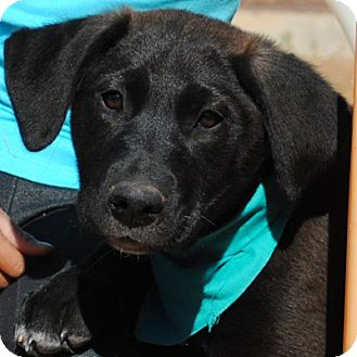 Labrador Retriever/Golden Retriever Mix Puppy for adoption in Weatherford, Texas - Baxter