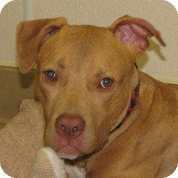 Terrier (Unknown Type, Medium)/Boxer Mix Dog for adoption in Eatontown, New Jersey - Dax