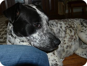 Labrador Retriever/Australian Cattle Dog Mix Dog for adoption in Knoxville, Tennessee - Cookie