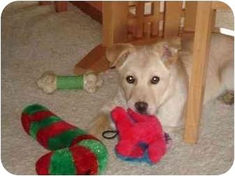 Labrador Retriever Mix Puppy for adoption in Evergreen, Colorado - Bailey