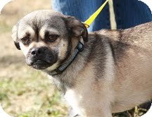 Pug Mix Dog for adoption in Portland, Maine - Pugsley