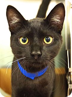 Domestic Shorthair Cat for adoption in Daytona Beach, Florida - Whisker