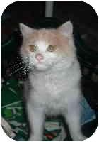 Domestic Mediumhair Cat for adoption in Clay, West Virginia - Memphis