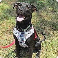 Adopt A Pet :: Ebony - Kingwood, TX