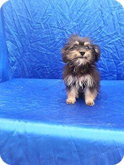 Yorkie, Yorkshire Terrier Mix Puppy for adoption in San Diego, California - Baby Helen