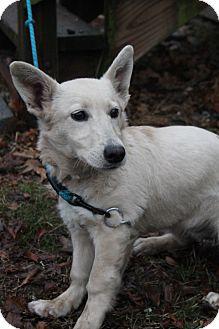 Corgi/Labrador Retriever Mix Dog for adoption in Waldorf, Maryland - Winston
