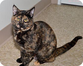 Domestic Shorthair Cat for adoption in Medina, Ohio - Halle