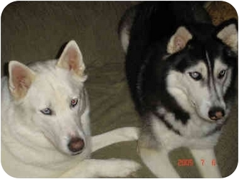Siberian Husky Dog for adoption in Boyertown, Pennsylvania - Tala