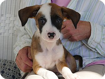 Terrier (Unknown Type, Small) Mix Puppy for adoption in Waretown, New Jersey - ANABELLE