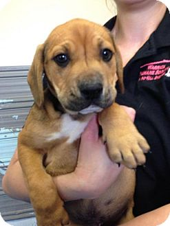 Rottweiler Mix Puppy for adoption in Newburgh, Indiana - Rusty