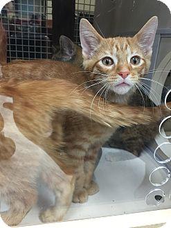 Domestic Mediumhair Kitten for adoption in Warren, Michigan - Lafayette