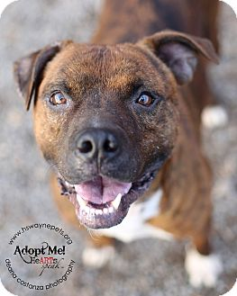 American Pit Bull Terrier Mix Dog for adoption in Lyons, New York - Sampson