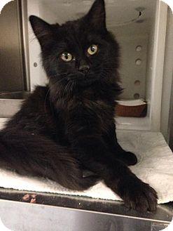 Domestic Longhair Kitten for adoption in Gainesville, Florida - Betty Crocker