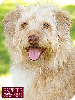Tibetan Terrier/Wheaten Terrier Mix Dog for adoption in Marina del Rey, California - Ozzy