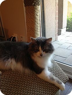Domestic Longhair Cat for adoption in THORNHILL, Ontario - Jade