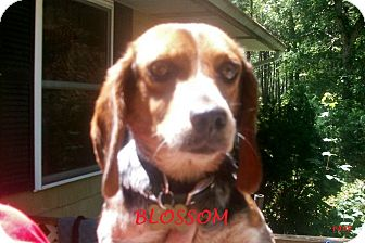 Beagle Dog for adoption in Ventnor City, New Jersey - BLOSSOM