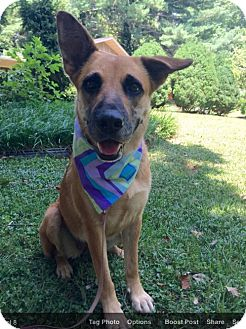 German Shepherd Dog Mix Dog for adoption in Syracuse, New York - Sweet Pea (RBF)