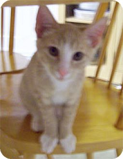 Domestic Shorthair Kitten for adoption in Garland, Texas - Baby Brother