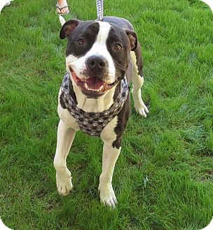 American Pit Bull Terrier Mix Dog for adoption in Scottsdale, Arizona - Tio