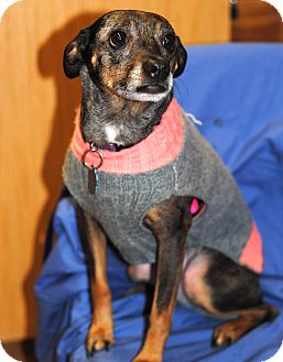 Rat Terrier Dog for adoption in Omaha, Nebraska - Asia