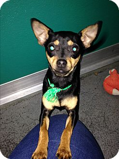 Miniature Pinscher/Chihuahua Mix Puppy for adoption in Idaho Falls, Idaho - Francis