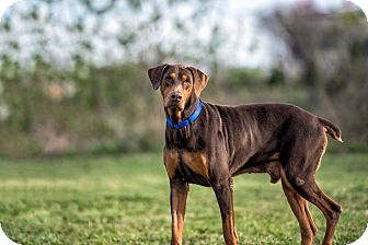 Doberman Pinscher Dog for adoption in Fort Worth, Texas - Carter