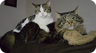 Maine Coon Cat for adoption in Manhasset, New York - Oliver