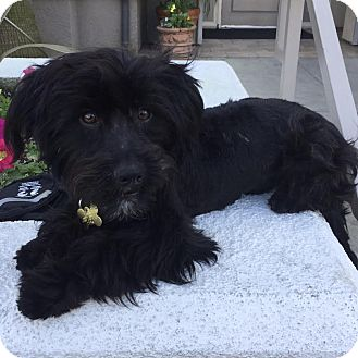 Cockapoo Mix Dog for adoption in Los Angeles, California - ZION
