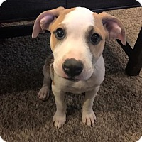 Adopt A Pet :: Ginger - Broken Arrow, OK