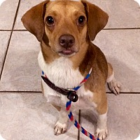 Adopt A Pet :: Snoopy in Ct - Manchester, CT