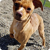Adopt A Pet :: Phteven - Hornell, NY