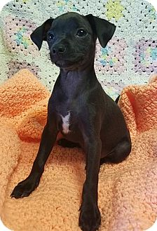 Miniature Pinscher/Chihuahua Mix Puppy for adoption in Los Angeles, California - Buttercup