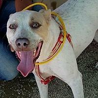 Adopt A Pet :: Riggs - Las Vegas, NV