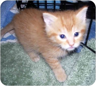 Domestic Shorthair Kitten for adoption in Troy, Michigan - Maui