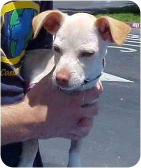 Chihuahua Mix Puppy for adoption in Spring Valley, California - Joey