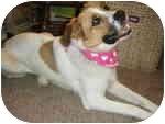 St. Bernard/Great Pyrenees Mix Dog for adoption in Plainfield, Illinois - Henna